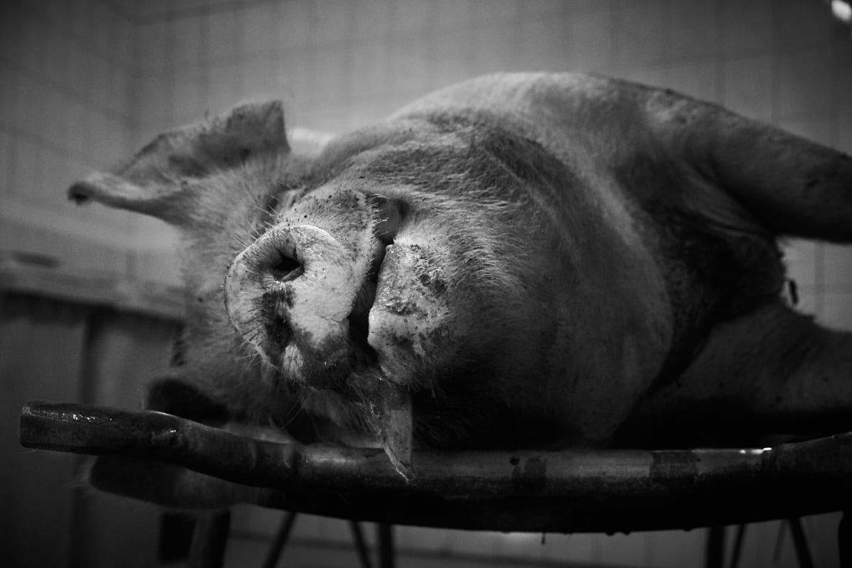 Hausschlachtung – Das Schwein